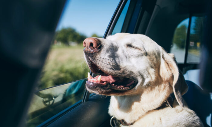 Through a series of small steps, you'll teach your dog that car rides are nothing to fear but, instead, can be a source of fun. (Jaromir Chalabala/Shutterstock)