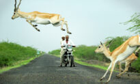 Photographer Snaps Antelope Appearing to Leap Over Motorcyclist as Herd Impressively Crosses Road