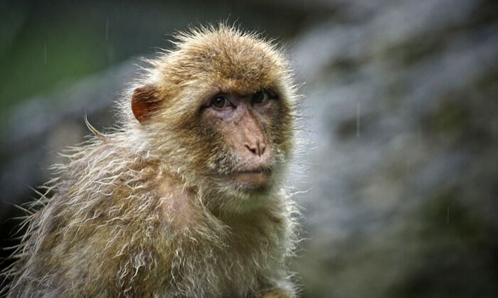 A Rhesus macaque (Macaca mulatta) looks on under heavy rainfall at the Zoo Parc of Beauval in Saint-Aignan, Centre France, on July 13, 2021. (Guillaume Souvant/AFP via Getty Images)