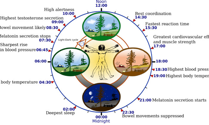 Biological clock affects the daily rhythm of many physiological processes. This diagram depicts the circadian patterns typical of someone who rises early in morning, eats lunch around noon, and sleeps at night (10 p.m.). Although circadian rhythms tend to be synchronized with cycles of light and dark, other factors - such as ambient temperature, meal times, stress and exercise - can influence the timing as well. (CC2.0)