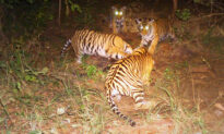 Male Tiger 'Adopts' 4 Tiger Cubs After Their Mom Dies; Wildlife Experts Call Behavior 'Rare'