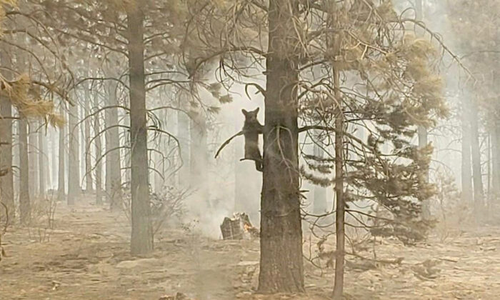 A bear cub clings to a tree after being spotted by a safety officer at the Bootleg Fire in southern Oregon, Sunday, on July 18, 2021. (Bryan Daniels/Bootleg Fire Incident Command via AP)