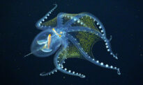 Ocean Researchers Capture Deep-Sea 'Glass Octopus' on Video—and It's Out of This World