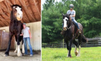Meet Phantom: One of the World's Tallest Horses That Outgrew His Owner's Stables
