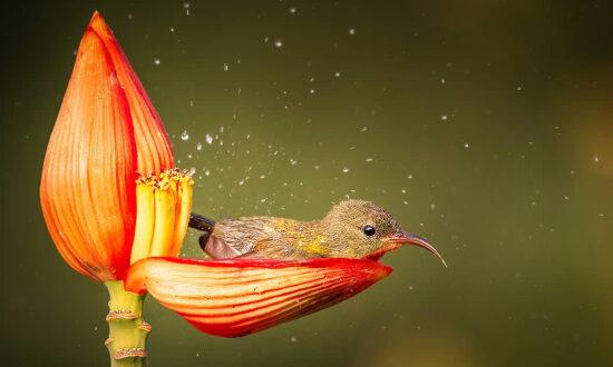 Photographer Snaps Fairytale-Like Scene of Female Sunbird Taking Bath in Dew-Filled Flower Petal