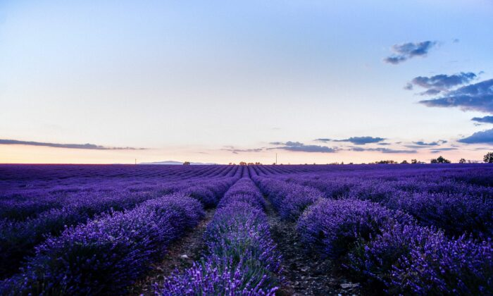 Lavender is prized for its deep purple color and highly fragranced blooms. It makes a wonderful addition to any garden.(Samir Belhamra/Pexels)
