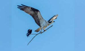 Once-in-a-Lifetime Photo of Small Bird Hitching a Ride on Bigger Bird's Stick