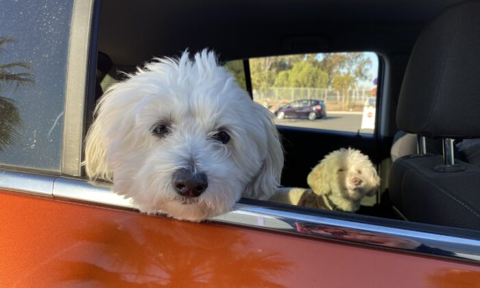 Dogs participate in an OC Animal Shelter pet food drive-thru. (Courtesy of the OC Animal Shelter)