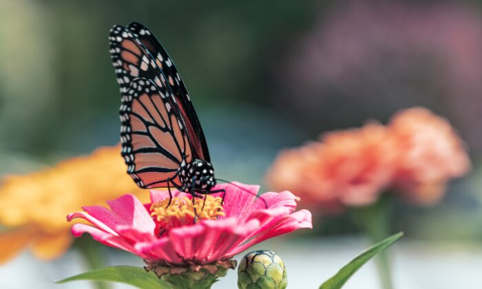 """Butterflies might not have a """"nose"""" but they rely on smell alot. (Amy Lynn Grover/Unsplash)"""