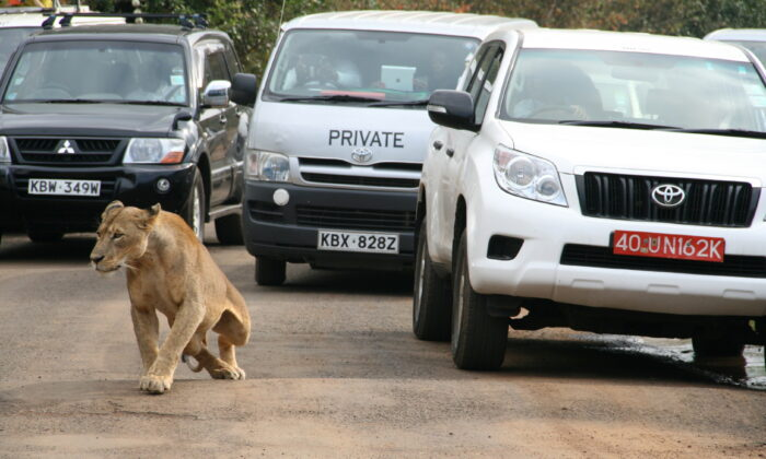 A lioness walks along a road as visitors sit in their vehicles at Nairobi's National Park in Kenya's capital Nairobi, on July 12, 2014. (Edmund Blair/Reuters)