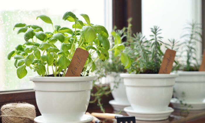 Mint, lavender, and basil plants set on windowsills do a great job of repelling flies. (mama_mia/Shutterstock)