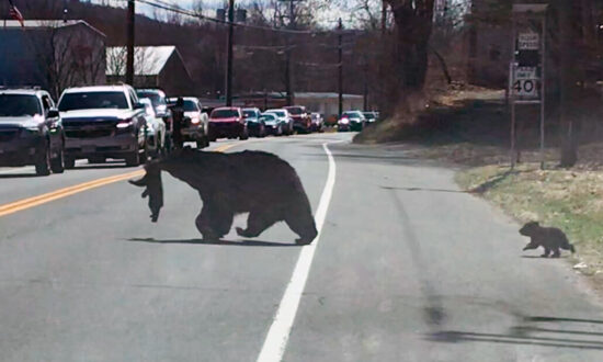 Video: Patient Motorists Wait as Mama Bear Struggles to Cross Road With 4 Unruly Cubs