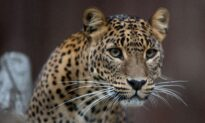 Florida Zoo: Man Injured by Jaguar After Crossing Barrier
