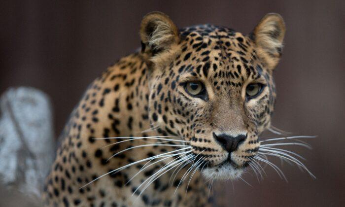 File photo of a Jaguar. (Joe Klamar/AFP via Getty Images)