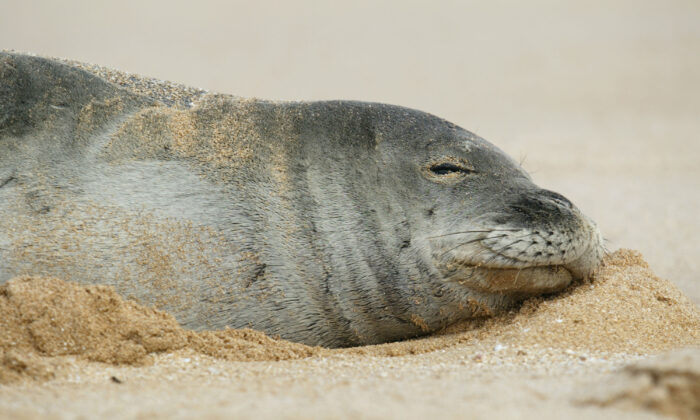 File photo of an endangered Hawaiian monk seal. (Phil Mislinski/Getty Images)