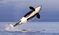 Endangered Orcas Get New Protection From US Government