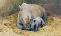 Southern White Rhino Mom Gives Birth to Female Calf at London Zoo—And the Photos Are Adorable