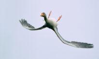 Incredible Photos Show Bean Goose Performing Odd Upside-Down Aerial Acrobatics Maneuver