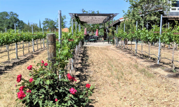 At Lone Madrone Winery in Paso Robles, Calif., roses at the end of vineyard rows provide early detection of disease and insects before they can infect the vines. (Courtesy of Athena Lucero)