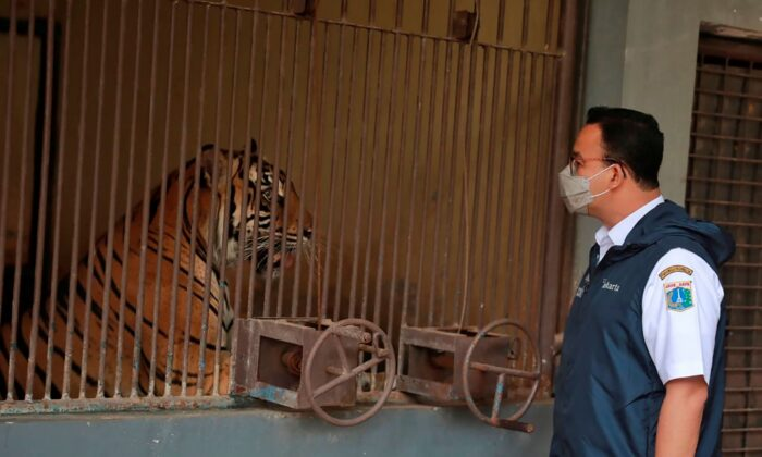 Jakarta Governor Anies Baswedan visits one of the two Sumatran tigers that contracted COVID-19 at the Ragunan Zoo in Jakarta, Indonesia, on July 31, 2021. (Dadang Kusuma WS/Jakarta province Government via AP)