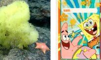 Scientists Find Real-Life Patrick About to Devour SpongeBob