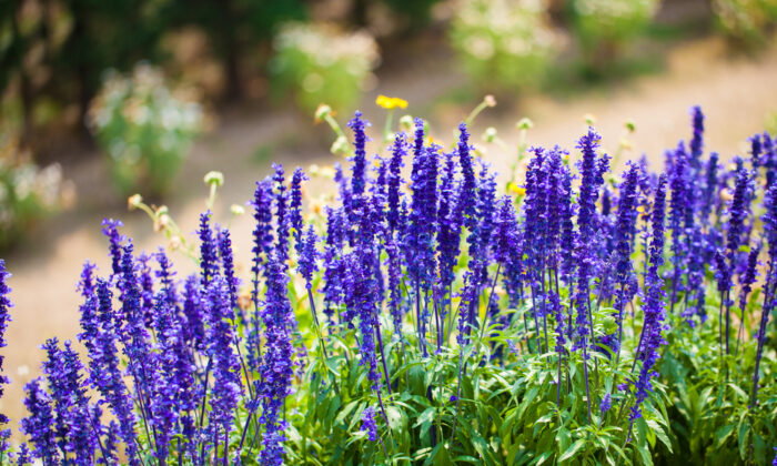 Lavender is a natural—and beautiful—mosquito repellent. (wanphen chawarung/Shutterstock)