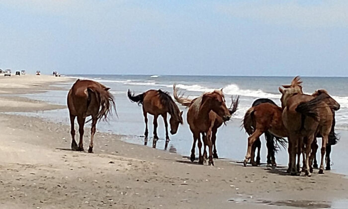 Corolla wild horses gather on the Currituck Outer Banks beach, in N.C. on June  6, 2019. (Jeff Hampton/The Virginian-Pilot via AP)