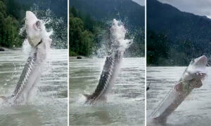Fishing Guide Videos 10-Foot-Long, 400-Pound Sturgeon Leaping 'On Top of Us' on Fraser River