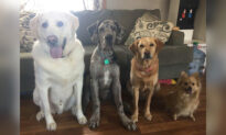 Dog Lovers' Photos Show Great Dane Puppy Outgrowing His Canine Siblings in 2 Years