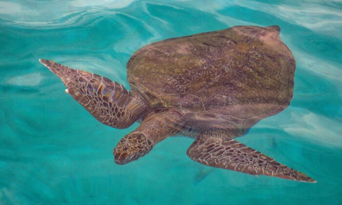 A green sea turtle swimming in the waters off Redang island in Malaysia on June 28, 2020. (Mohd Rasfan/AFP via Getty Images)
