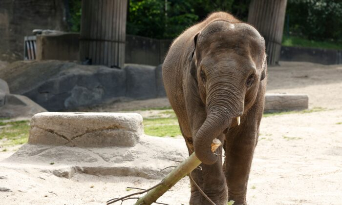 A baby elephant plays with a piece of wood at the Tierpark Hagenbeck zoo in Hamburg, Germany, on June 28, 2021. (Morris Mac Matzen/AFP via Getty Images)