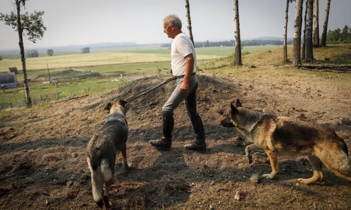 Horse trainer Ian Tipton walks with his dogs past the burial mound where horses Jacinto and Mowgli are buried at his facility near Sundre, Alta., on Aug. 5, 2021. (The Canadian Press/Jeff McIntosh)