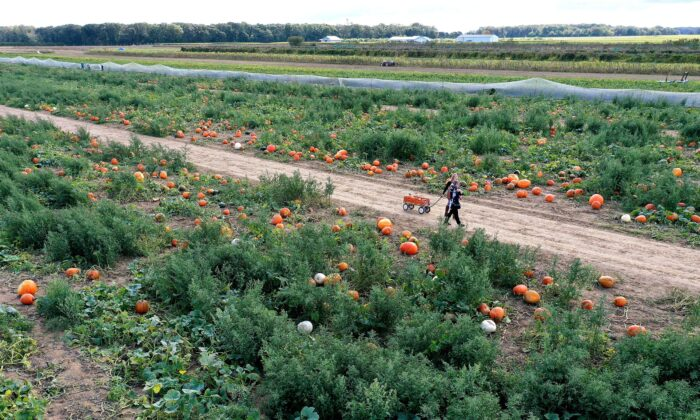 A person is picking pumpkins at Harbes Family Farm in Mattituck, N.Y., on Oct. 6, 2020. (Al Bello/Getty Images)
