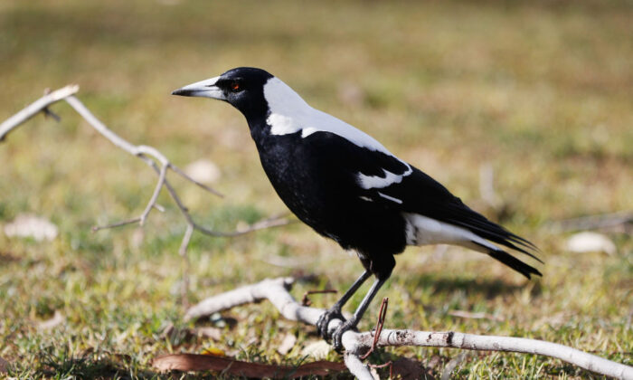 A Magpie is seen on the grounds in Melbourne, Australia, on Jul. 30, 2017 (Michael Dodge/Getty Images)