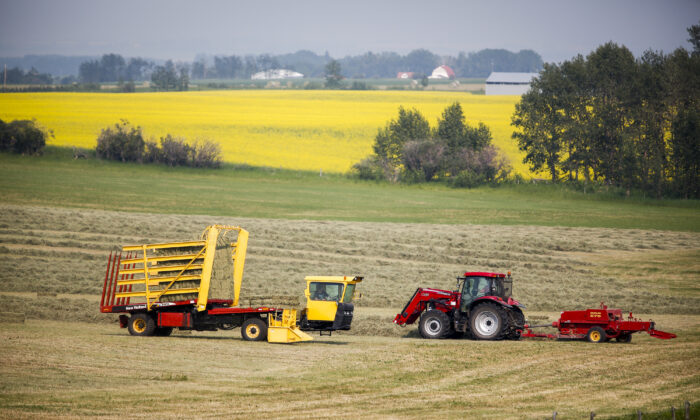 A farmer bales his hay crop as a pick-wagon collects the bales, near Cremona, Alta., on July 16, 2021. In the background is a canola crop in full bloom. (The Canadian Press/Jeff McIntosh)