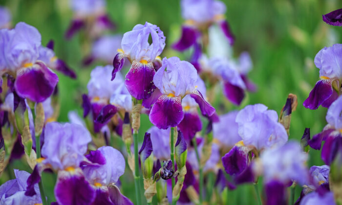Generally, we divide perennials in the fall or spring when they are dormant, but irises are an exception to the rule. (Shutterstock)