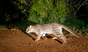 Photographer Sets Camera Trap to Capture Rusty-Spotted Cats, Leopards, Exotic Beasts in India
