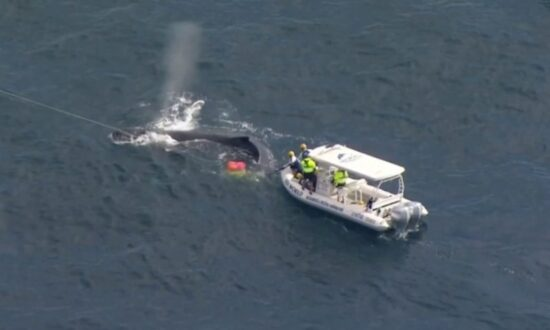 Marine Rescuers Work to Free Whale Caught in Shark Net on Gold Coast