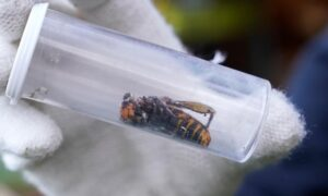First Live 'Murder Hornet' Sighted Near U.S. Canada Border, Say Scientists