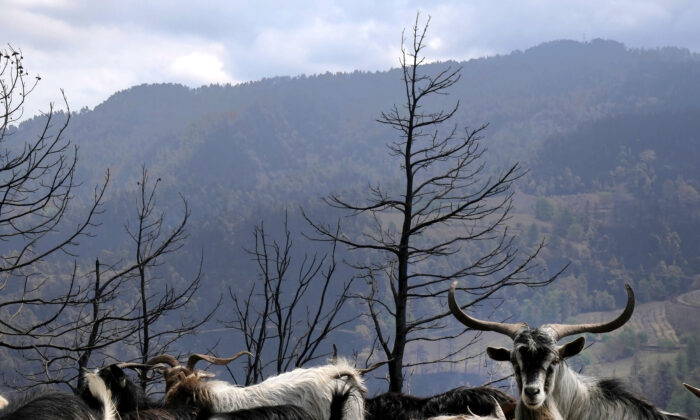 Goats are seen at a burn area near Krioneritis village on Evia island, about 181 kilometers (113 miles) north of Athens, Greece, on Aug. 12, 2021. (Petros Karadjias/AP Photo)