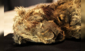 Ice Age Cave Lion Cub Unearthed in Siberian Permafrost Believed to Be 28,000 Years Old: Study