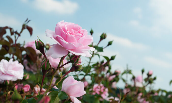 Roses are a beautiful and classic addition to a home garden. (Prezoom.nl/Shutterstock)