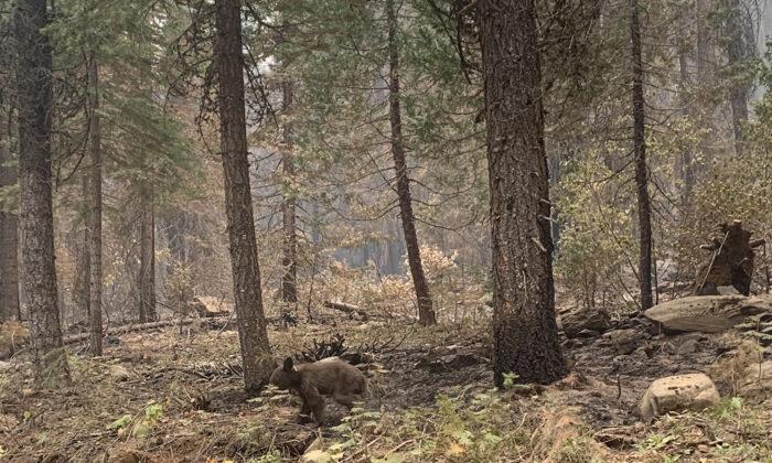 An orphaned bear cub walks alone through an area impacted by the Dixie Fire in Plumas County, Calif., on Aug. 15, 2021. (Eugene Garcia/AP Photo)