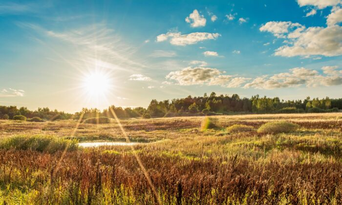 The End of Heat is the solar term when grains ripen, and a time to look forward to harvest. (Aliaksei Marozau/Shutterstock)