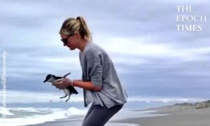 Blue Penguin Comes Back to the Sea After Being Rescued