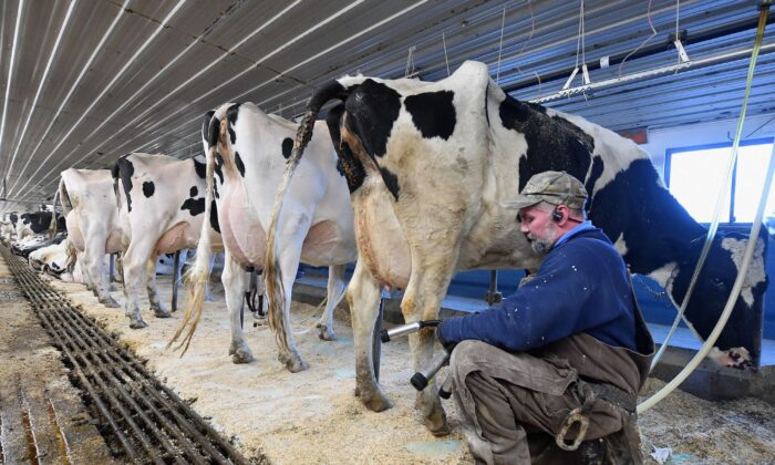 Tollgate farm employee Dave Schillawski milks cows at Tollgate farm in Ancramdale, New York, on Jan. 17, 2020. (ANGELA WEISS/AFP via Getty Images)