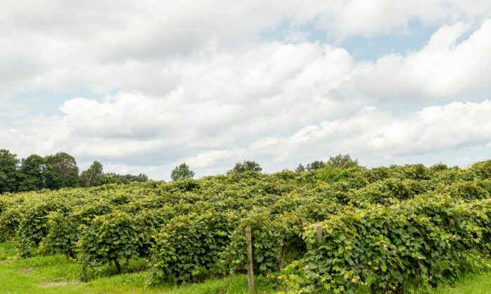 Wineries in the Lake Erie AVA produce wine using European, North American and hybrid grape varieties. (Dennis Lennox)