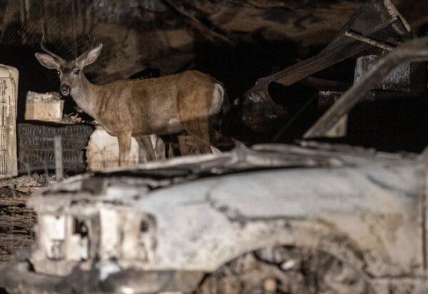 A deer walks through remains of a property