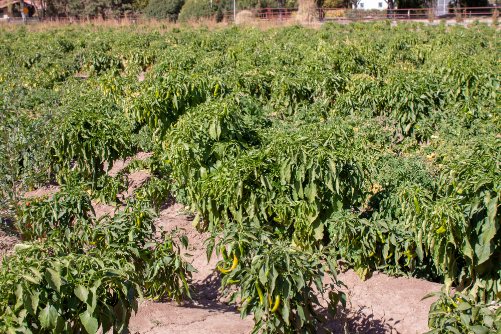 Agricultural,Field,Of,Hatch,Valley,Red,And,Green,Chiles,During