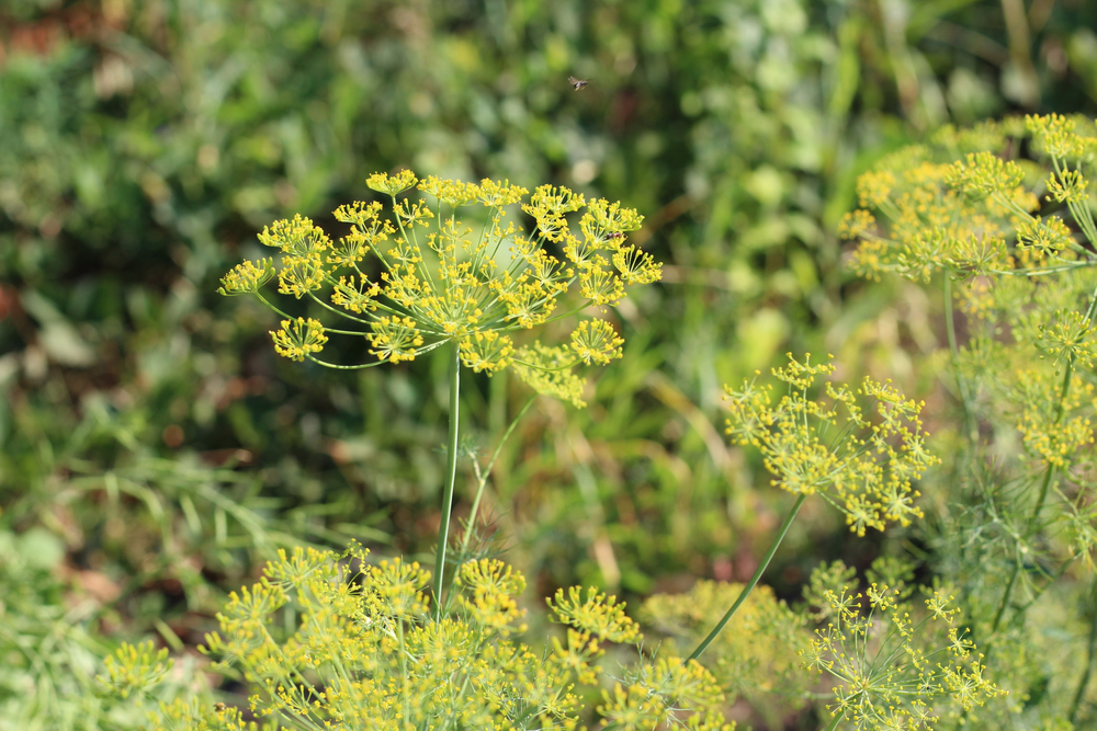 Flower,Of,Green,Dill,Fennel,.,Green,Background,With,Flowers